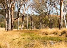 Alberi di gomma rurali del foro di acqua della campagna dell'Australia Fotografie Stock Libere da Diritti