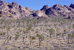 Alberi di Joshua nel deserto Fotografia Stock