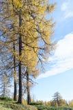 Alberi di larice di autunno Immagine Stock Libera da Diritti