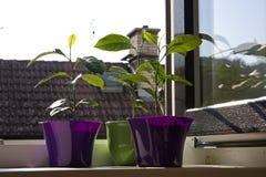 Alberi di limone conservati in vaso Fotografia Stock