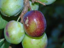 Alberi di luccichio con le bacche in parco di Hertfordshire Immagine Stock