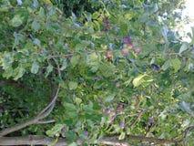 Alberi di luccichio con le bacche in parco di Hertfordshire Fotografia Stock