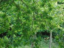 Alberi di luccichio in parco di Hertfordshire Immagine Stock Libera da Diritti