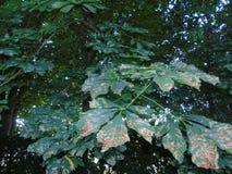 Alberi di luccichio in parco di Hertfordshire Immagine Stock