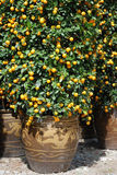Alberi di mandarino in POT Fotografie Stock