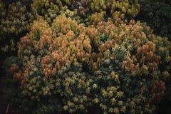 Alberi di mango Fotografie Stock