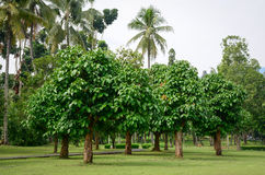 Alberi di mangostano al giardino in Jogja, Indonesia Immagine Stock