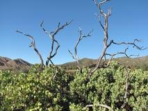 Alberi di Manzanita Fotografia Stock