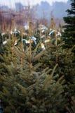 Alberi di Natale da vendere Immagine Stock Libera da Diritti