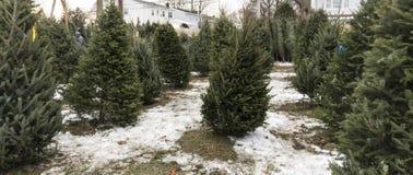 Alberi di Natale da vendere con neve sulla terra Immagini Stock