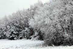 Alberi di Natale innevati della foresta di inverno Immagine Stock