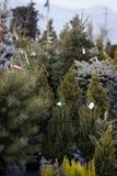 Alberi di Natale su esposizione da vendere Immagine Stock Libera da Diritti