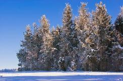 Alberi di Natale sui precedenti di un cielo blu Alberi in FO immagine stock libera da diritti