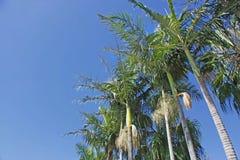 Alberi di noce di cocco Immagini Stock