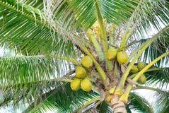 Alberi di noce di cocco Immagine Stock