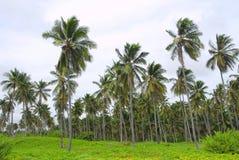 Alberi di noce di cocco Immagine Stock Libera da Diritti