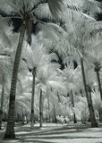 Alberi di noce di cocco dell'albino Fotografia Stock Libera da Diritti
