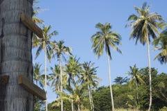 Alberi di noce di cocco e scala improvvisata Immagine Stock