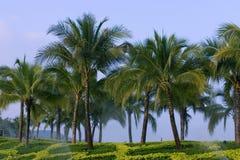 Alberi di noce di cocco nel park2 Immagini Stock Libere da Diritti