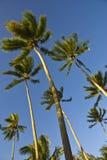 Alberi di noce di cocco sul moorea in mari del sud Fotografia Stock Libera da Diritti