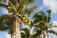 Alberi di noce di cocco, Tailandia immagini stock libere da diritti