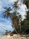 Alberi di noci di cocco caraibici Fotografia Stock Libera da Diritti