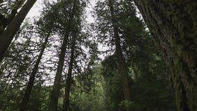 Alberi di nord-ovest pacifici della foresta pluviale archivi video
