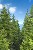 Alberi di pino Fotografia Stock