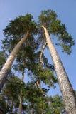 Alberi di pino Fotografia Stock Libera da Diritti
