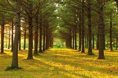 Alberi di pino Immagini Stock Libere da Diritti