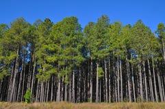 Alberi di pino alti al bordo di grande piantagione Fotografie Stock Libere da Diritti