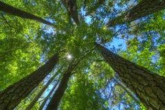 Alberi di pino alti nella foresta fotografia stock libera da diritti