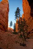Alberi di pino alti in un canyon profondo Fotografia Stock