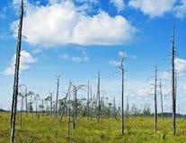 Alberi di pino asciutti sul prato verde della palude vicino al lago Immagini Stock