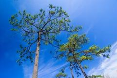 Alberi di pino con cielo blu immagine stock
