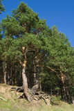 Alberi di pino con le radici curve Fotografie Stock