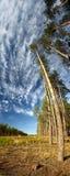 Alberi di pino contro il cielo blu Fotografie Stock Libere da Diritti