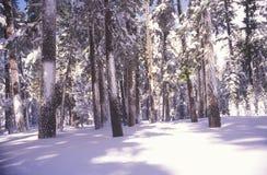 Alberi di pino coperti in neve Immagini Stock