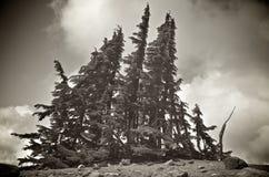 Alberi di pino dalla corteccia bianca Immagini Stock