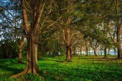 Alberi di pino dalla spiaggia Immagine Stock