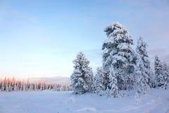 Alberi di pino del campo dello Snowy sotto cielo blu Immagini Stock