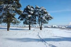 Alberi di pino dello Snowy nel campo Fotografie Stock Libere da Diritti