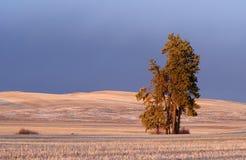 Alberi di pino di Palouse Fotografia Stock Libera da Diritti