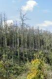 Alberi di pino guasti Fotografie Stock Libere da Diritti