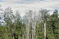Alberi di pino guasti Fotografia Stock Libera da Diritti