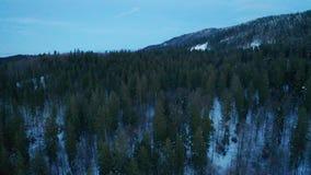 Alberi di pino in inverno video d archivio
