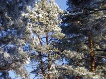 Alberi di pino in inverno Fotografie Stock