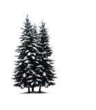 Alberi di pino isolati Fotografie Stock