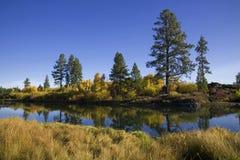 Alberi di pino lungo un fiume immagini stock