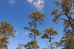 Alberi di pino nella foresta Immagine Stock